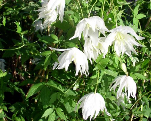 Clematis albina plena