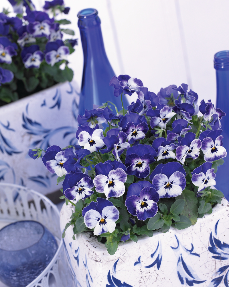 34013 Viola-cornuta-EVO-Mini-F1-Sorbet-XP-F1-Delft-Blue_18924_1