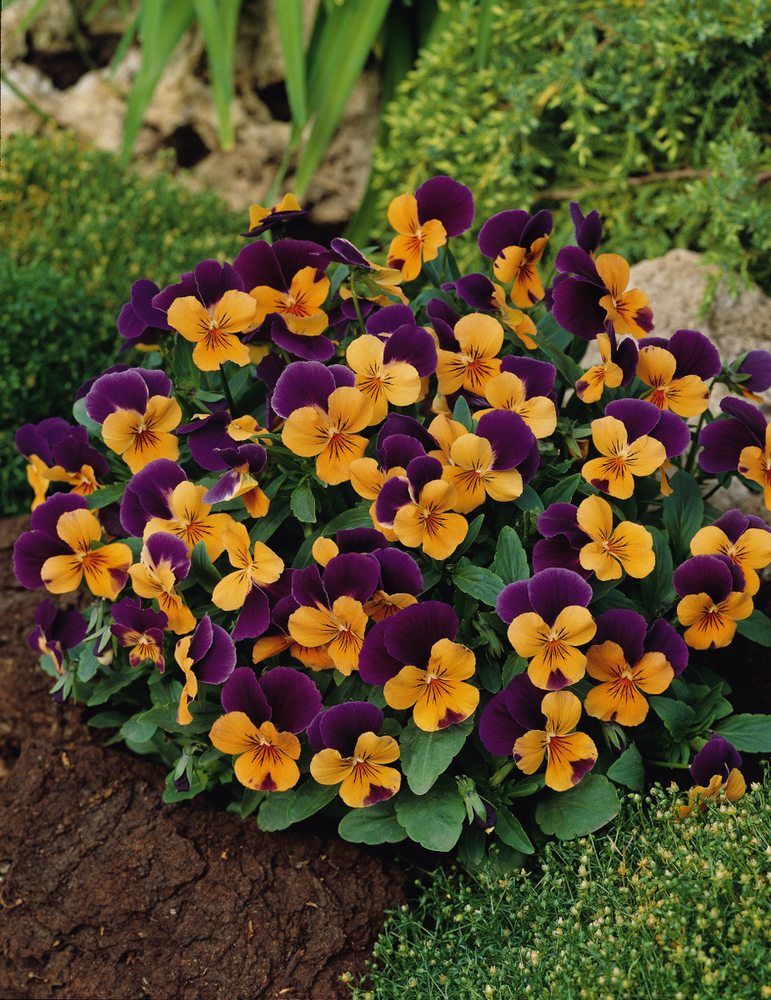 35202 Viola-cornuta-EVO-Mini-F1-Sorbet-XP-F1-Orange-Purple-Jump-Up_32502_7